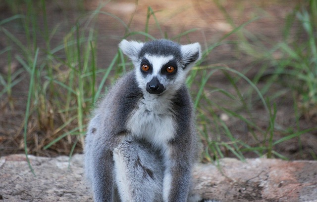 Free animal black and white catta creature lemur
