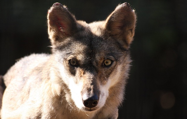 Free face fox looking portrait staring wolf