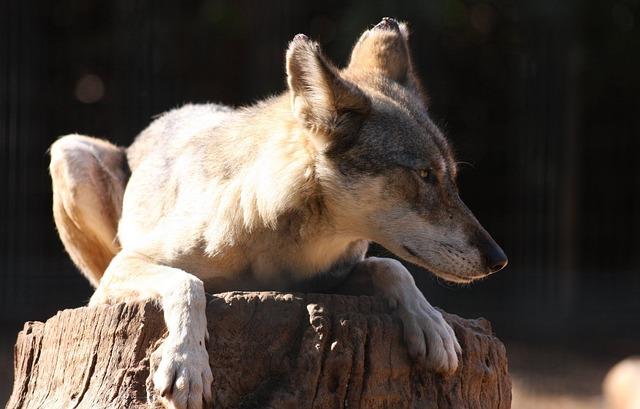 Free branch fox sitting tree trunk wildlife wolf