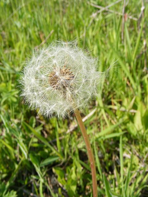 Free blow dandelion flowers fruits officinale ripe