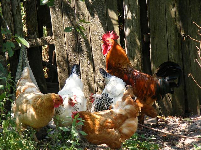 Free chicken chickens farm garden hen hens rooster