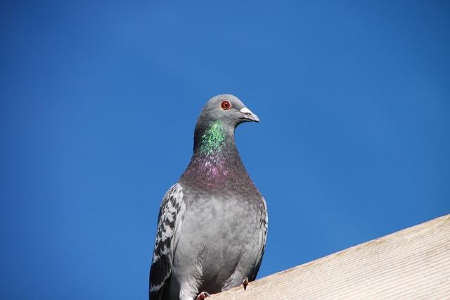 Free blue house pigeon roof sky birds