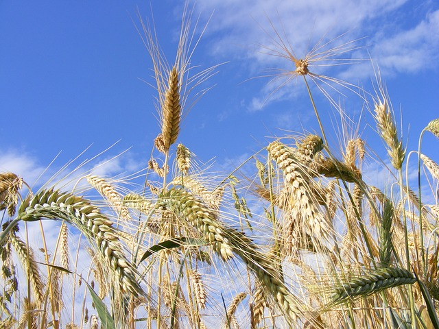 Free agriculture bread cereals close-up ear grain