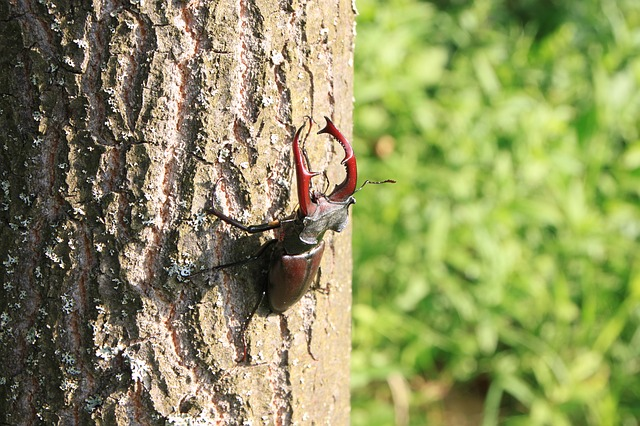Free beetle climbing male stag tree insects