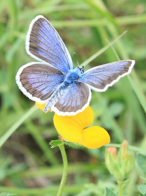 Free blue butterfly flowers icarus lycaenidae