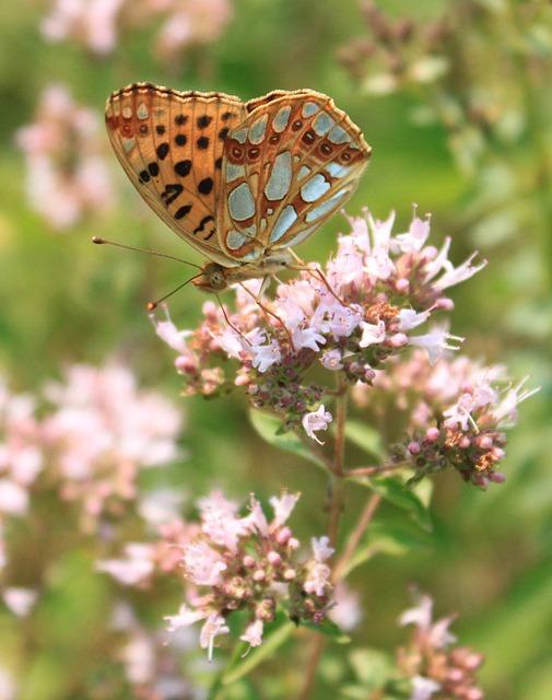 Free butterfly fritillary gorj issoria lathonia