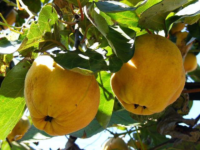 Free nature fruits vegetables quince tree