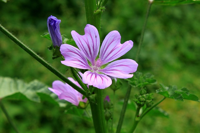 Free flowers mallow malva mauve purple sylvestris