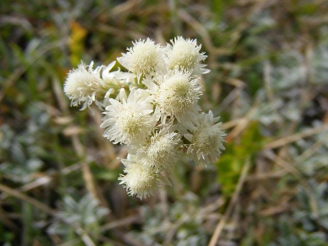 Free arenarium flowers gnaphalium green helichrysum
