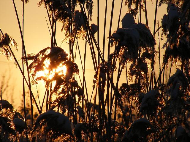Free grass phragmites poales reed specie sun plants