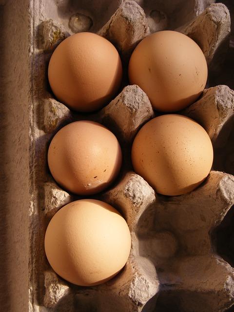 Free chicken domesticus eggs gallus birds food drink