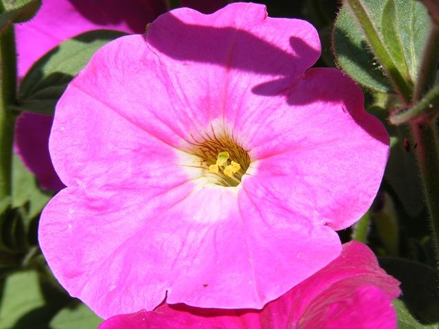 Free flower flowers fucsia petunia solanaceae plants