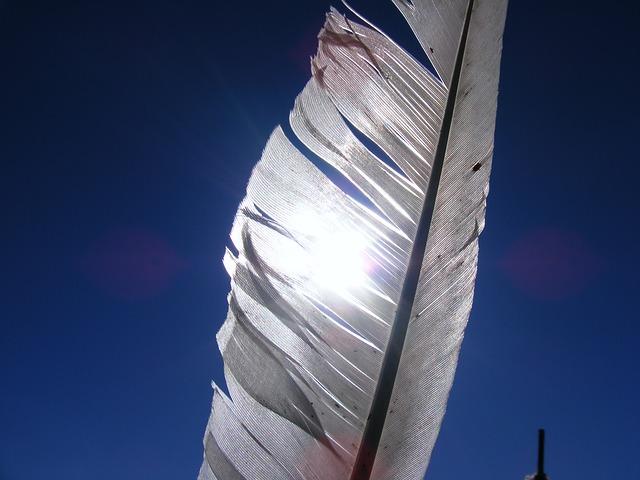 Free chicken feather sunlight white birds