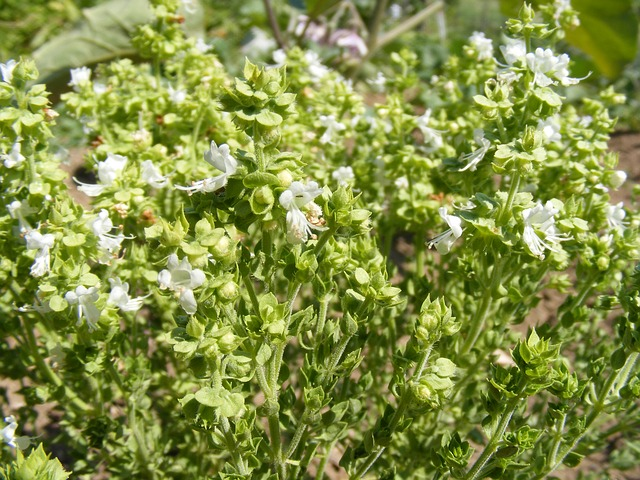 Free basil bee blooming flowers spices plants