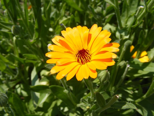 Free antiseptic bactericide calendula flowers herb