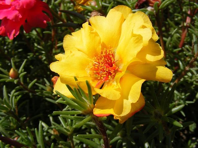 Free flowers grandiflora moss portulaca purslane rose