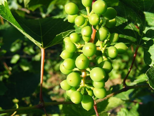 Free grapery grapes green raw sour vineyard fruit