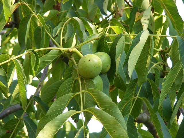 Free green immature leaf tree unripe walnuts fruit
