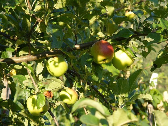 Free apple apples green light sunny tree fruit
