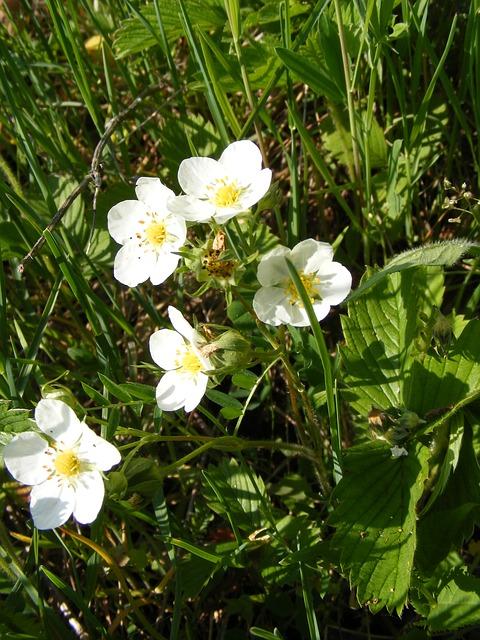 Free flowers forest green strawberries white wild