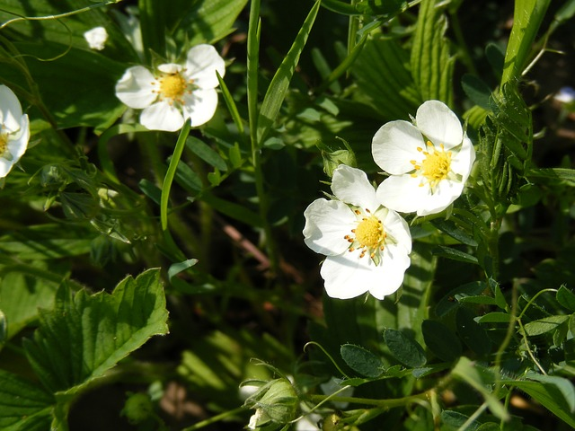 Free flowers forest green strawberries white wild