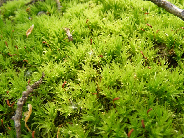 Free climacium damp dendroides evergreen moss northern