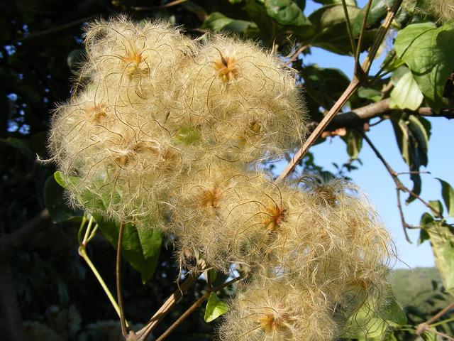 Free beard clematis climbing flowers joy leave man