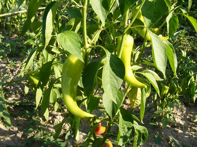 Free Photos: Cherry garden green peppers pimento red sweet | Emilian Robert Vicol