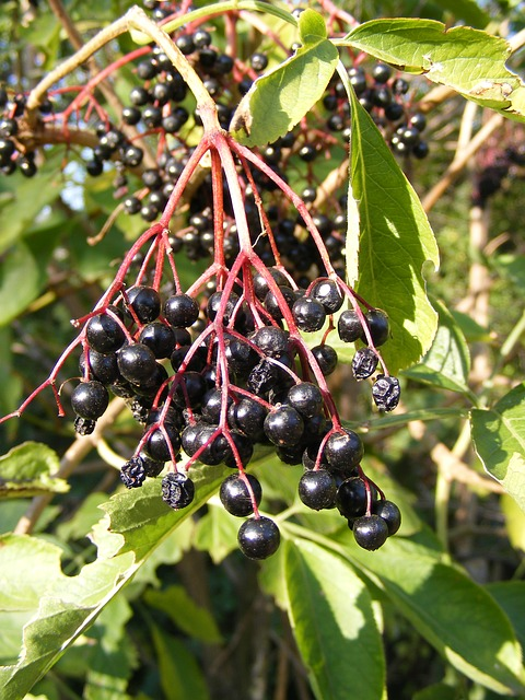Free berries black common elder elderberry green sunny