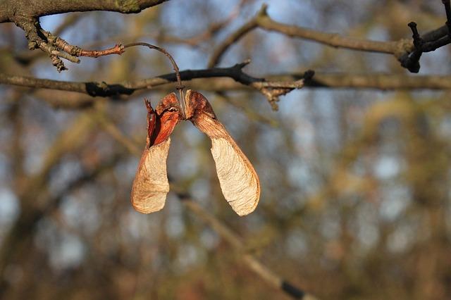 Free acer maple pseudoplatanus seeds sycamore autumn