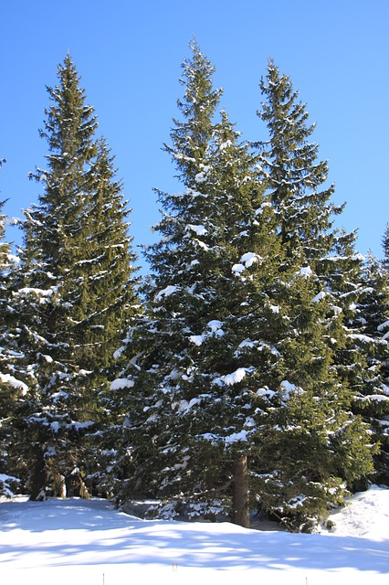 Free fir mountain pine snowy sunny trees winter