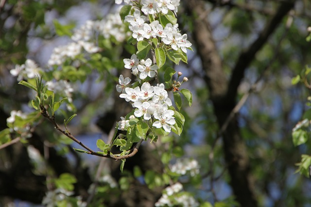 Free blossom flower pear spring