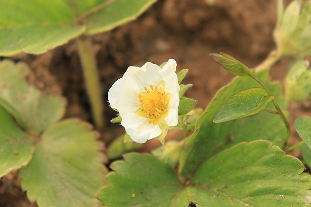 Free close-up flowers strawberry white plants spring