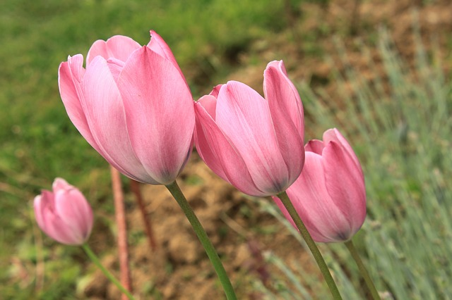 Free close-up flowers green pink tulip plants spring
