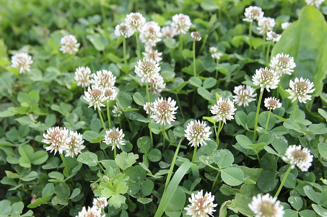Free clover flowers wild plants spring