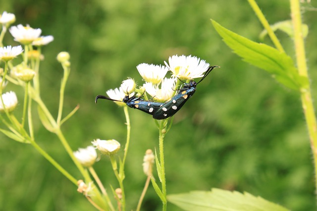 Free black butterfly copulation dots flowers yellow