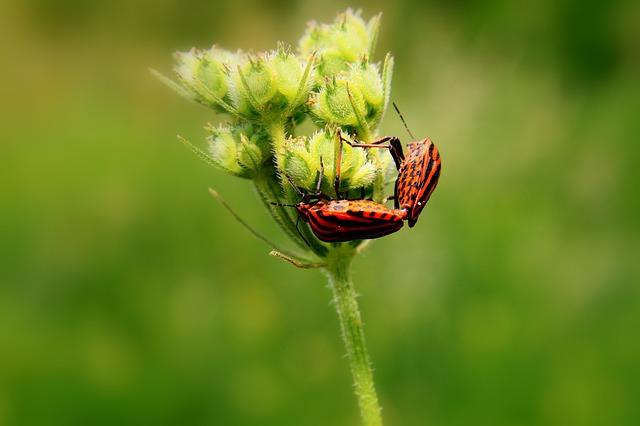 Free black bugs close-up copulation graphosoma lineatum