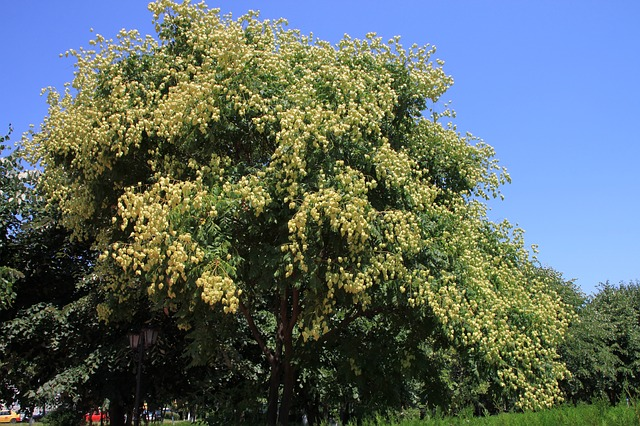 Free fruits golden koelreuteria paniculata rain tree