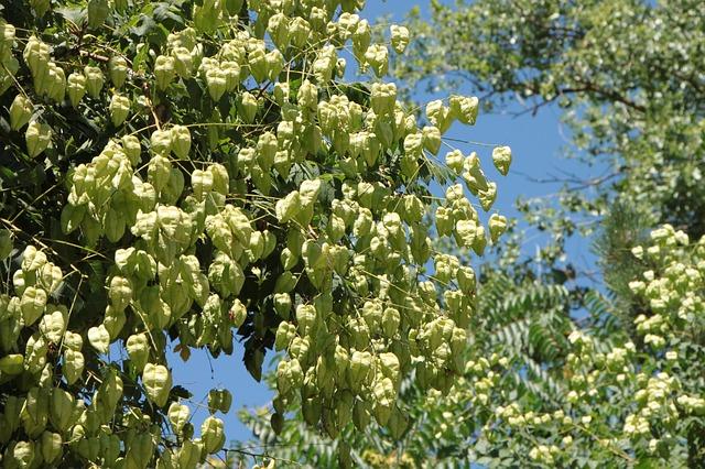 Free fruits golden koelreuteria paniculata rain tree
