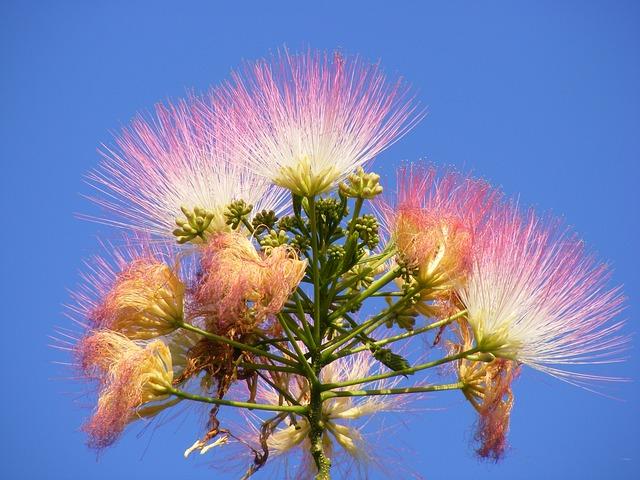 Free albizia blue fluffy julibrissin mimosa persian
