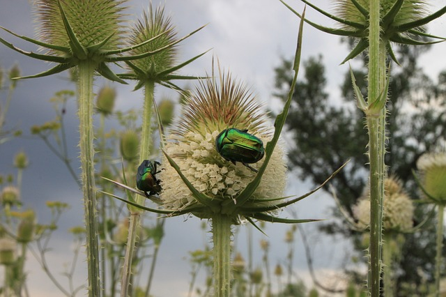 Free beetle bug cutleaf dipsacus green june laciniatus