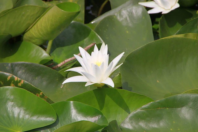 Free flowers lilies water white plants summer