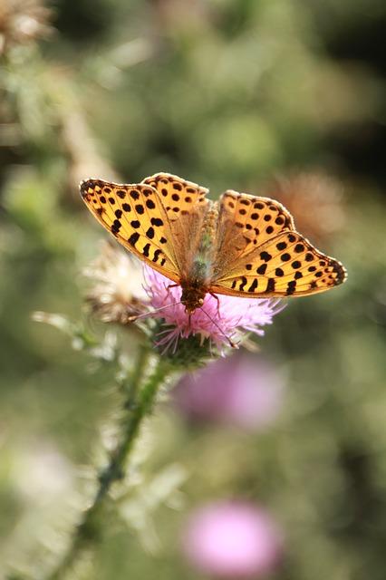Free butterflies butterfly cybele orange speyeria
