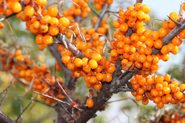 Free buckthorn fruits healthy sea thistles vitamins