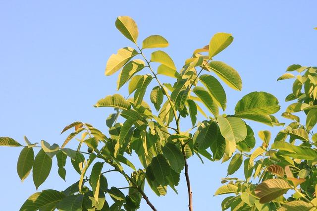 Free black eastern juglans leaf leaves walnut plants
