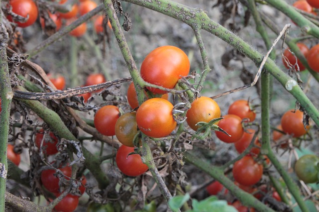 Free cherry fresh plants red small tomato autumn