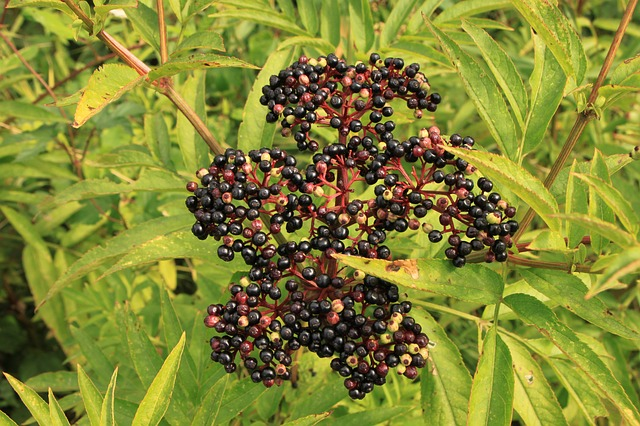 Free Photos: Berries black danewort ebulus elder sambucus | Emilian Robert Vicol