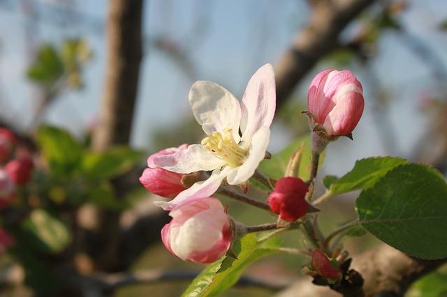 Free apple close-up flowers nature plants