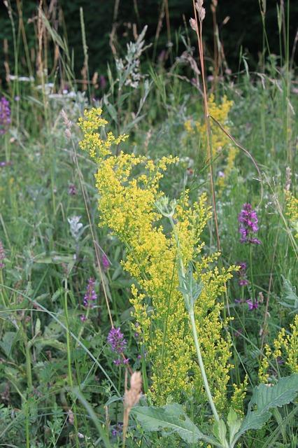 Free Photos: Bedstraw flowers galium herbal remedy rubiaceae | Emilian Robert Vicol