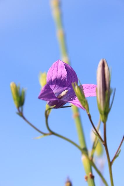 Free balloon bellflower chinese flowers grandiflorus